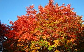 the sky, trees, autumn, rowan