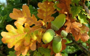 leaves, autumn, oak, acorn