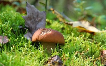 grass, nature, forest, autumn, mushroom, white mushroom