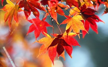 nature, leaves, autumn, maple