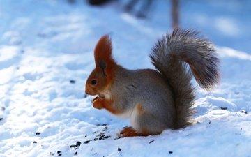 снег, лес, зима, белка, семечки, белочка