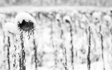 снег, растения, зима, осень, чёрно-белое, подсолнух, подсолнухи