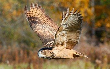 сова, природа, лес, полет, крылья, размытость, птица, охота, боке, филин