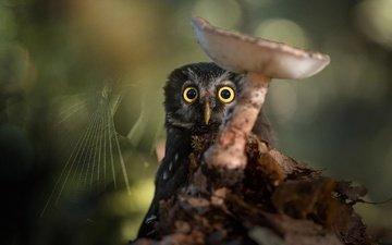 сова, природа, птица, гриб, паутина, боке