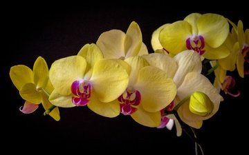 flowers, the dark background, orchid, phalaenopsis