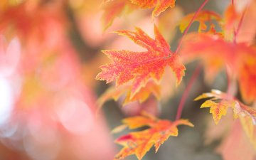 branch, tree, leaves, background, autumn, red, maple
