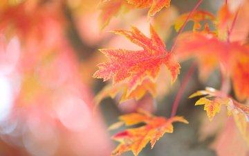 ветка, дерево, листья, фон, осень, красные, кленовые, осенние