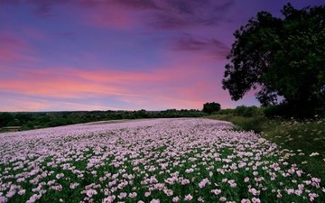 flowers, sunset, field, maki, england, hampshire