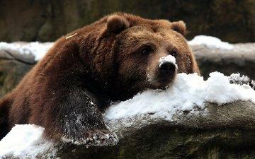 снег, камни, зима, медведь, гризли