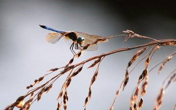 grass, insect, wings, dragonfly, spikelets
