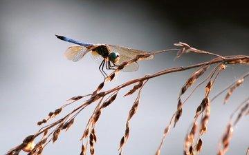 трава, насекомое, крылья, стрекоза, колоски