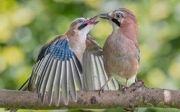 ветка, природа, птицы, пара, боке, сойки