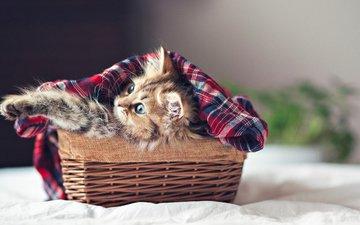 кошка, котенок, пушистый, корзина, ben torode, дейзи
