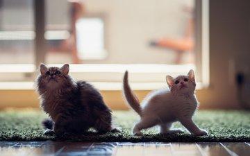 коты, кошки, котята, ben torode, дейзи, ханна