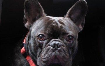 мордочка, взгляд, собака, черный фон, ошейник, бульдог, французский бульдог