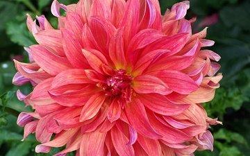 flowers, flower, petals, dahlia