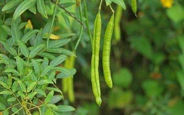 зелень, листья, куст, растение, стручки