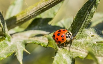 leaves, beetle, insect, background, ladybug, plant