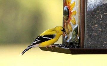 птица, клюв, щегол, кормушка, птаха, american goldfinch