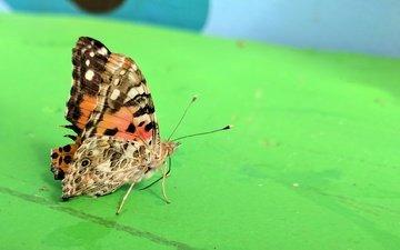 насекомое, фон, бабочка, крылья, монарх