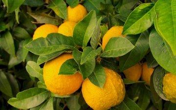 природа, листья, фрукты, лимон, плоды, лимоны, цитрусы