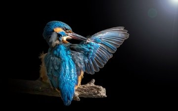 wing, kingfisher