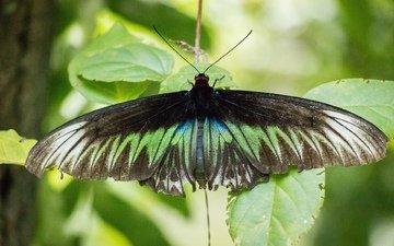 природа, листья, зелёный, насекомое, бабочка, черный, животное, малайзия
