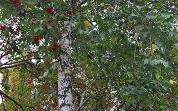 mood, park, autumn, sheet, berries, birch, rowan