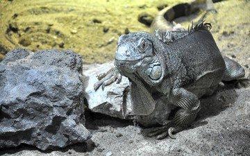 животные, дракон, ящерица, геккон, фауна, пресмыкающиеся, рептилии, ящер, животно е, тритон, newt