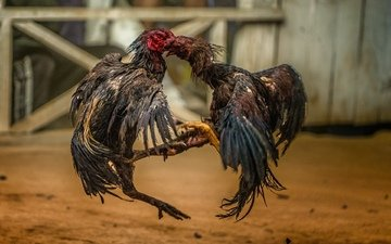 battle, roosters