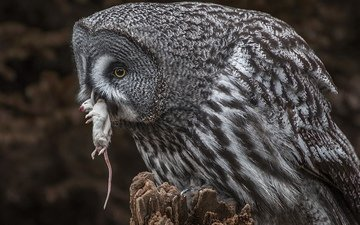 owl, nature, mouse