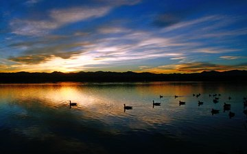 lake, sunset, duck