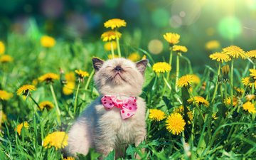 flowers, cat, muzzle, mustache, butterfly, kitty, dandelions