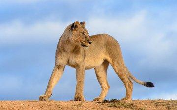 небо, хищник, лев, львица
