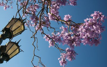 the sky, flowers, flowering, branches, lantern, spring, argentina, buenos aires, jacaranda