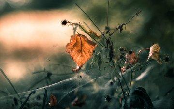 природа, растения, макро, осень, лист, паутина, mandy_h.