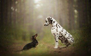 далматин, такса, собаки