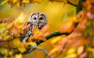 owl, leaves, branches, autumn, bird