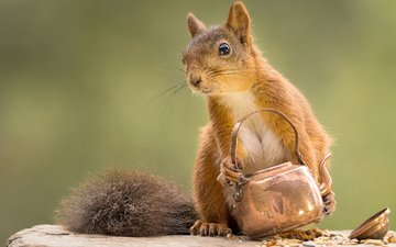 muzzle, look, protein, kettle, squirrel, geert weggen