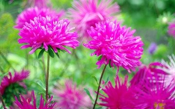 flowers, petals, pink, stems, asters
