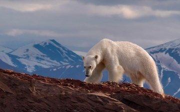 горы, медведь, хищник, животное, белый медведь, mike reyfman