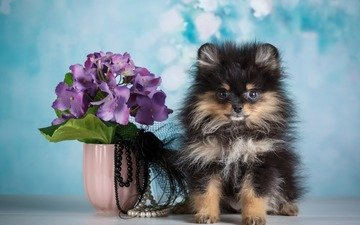 flowers, background, dog, puppy, beads, vase, spitz