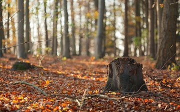 nature, forest, leaves, branches, trunks, autumn, stump