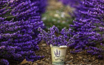 flowers, lavender, bucket