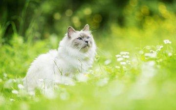 цветы, кот, мордочка, усы, кошка, взгляд, размытость, ромашки
