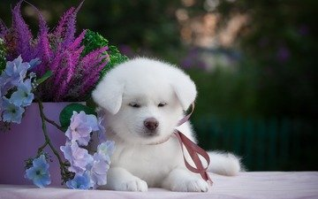 flowers, muzzle, look, dog, puppy, samoyed, akita