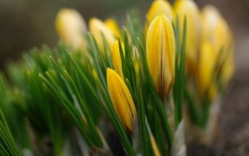 flowers, spring, yellow, crocuses