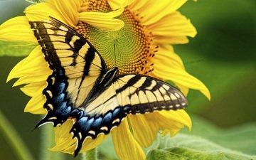 макро, насекомое, цветок, лепестки, бабочка, крылья, подсолнух