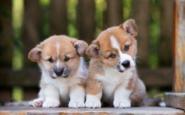 взгляд, щенки, собаки, мордочки, вельш-корги, корги, пемброк