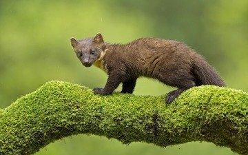 muzzle, look, predator, rain, moss, trunk, marten